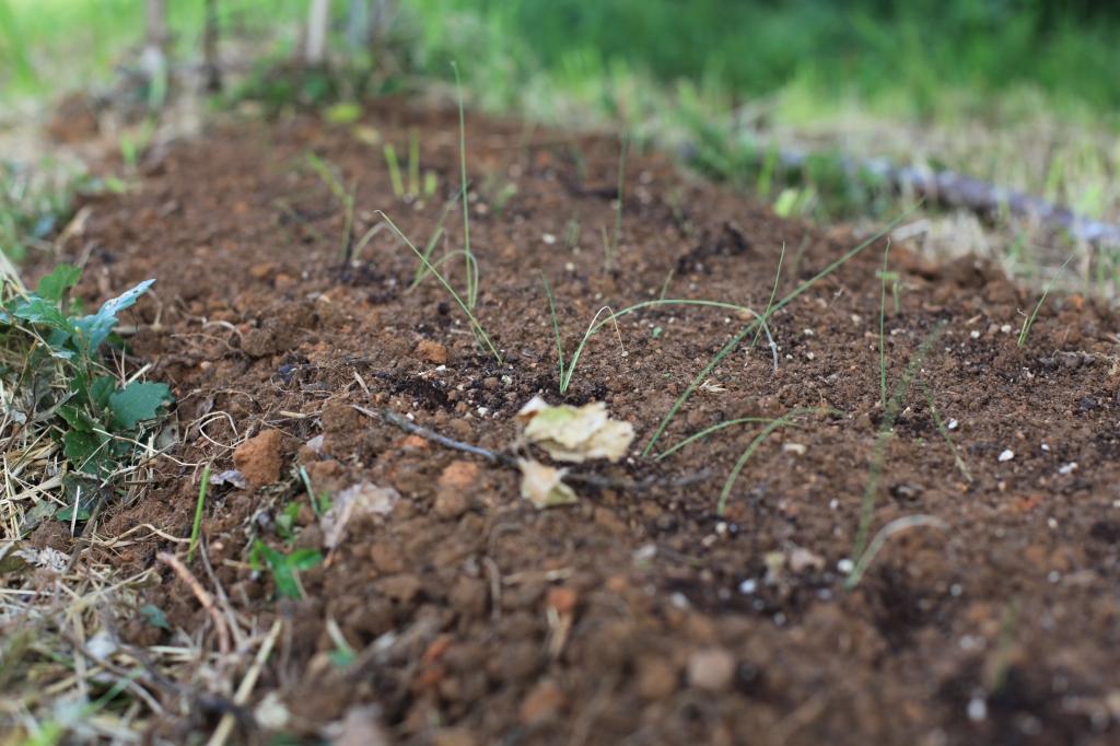 photo prise au ras du sol, en macro, sur laquelle on voit une terre marron rouge bien grasse et de tout petits poireaux qui s'en échappent.